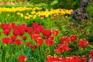 Tulip Profusion
